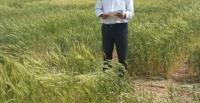 رئیس مؤسسه تحققات کشاورزی دیم کشورعنوان داشت :معرفی ۱۵ رقم جدید در زمینه غلات، حبوبات و دانههای روغنی طی چهار سال گذشته