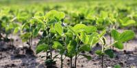همکاری فائو با ایران در زمینه خودکفایی دانههای روغنی