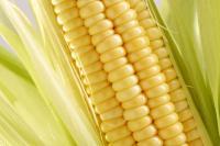 از سوی وزارت جهاد کشاورزی پیشنهاد شد:قیمت خرید تضمینی ذرت و جو برای سال زراعی 97_96